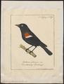 Agelaius phoeniceus - 1700-1880 - Print - Iconographia Zoologica - Special Collections University of Amsterdam - UBA01 IZ15800249.tif