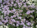 Ageratum houstonianum from Lalbagh Flower Show August 2012 4647.JPG