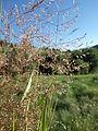 Agrostis stolonifera (7641723234).jpg