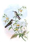 Agyrtria taczanowskii - Gould