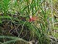 Air Plant (Tillandsia bulbosa) (8307534601).jpg