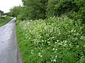 Alexanders and Cow Parsley, Little Haldon - geograph.org.uk - 1314693.jpg