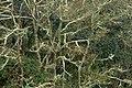 Aliso - Cerezo (Alnus jorullensis - Acuminata) - Flickr - Alejandro Bayer (3).jpg