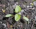 Alliaria petiolata 2017-04-20 8301.jpg
