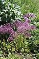 Allium cristophii BotGardBln 20170610 A.jpg