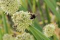 Allium fistulosum-IMG 4321.jpg