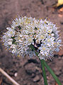 Allium fistulosum var. bulbifera, Sint-jansui bloeiwijzen.jpg