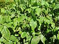 Allophyllus cobbe-Jardin botanique de Kandy (1).jpg