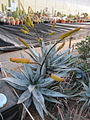 Aloe (5530261093).jpg