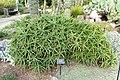 Aloe ciliaris - Mendocino Coast Botanical Gardens - DSC02245.JPG