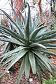 Aloe marlothii - Botanischer Garten, Dresden, Germany - DSC08924.JPG
