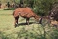 Alpaca, Peru (3).jpg