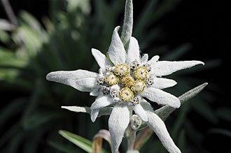 Leontopodium nivale - Close-up of flower.