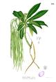 Alstonia spectabilis Blanco2.379.png