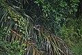 Amaurornis phoenicurus @ PD.jpg