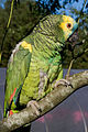 Amazona aestiva -perching-4.jpg