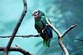 Amazona leucocephala -Bronx Zoo-8a.jpg