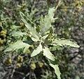 Ambrosia eriocentra 3.jpg
