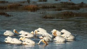 File:American White Pelicans fishing in a group.webmhd.webm