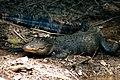 American alligator (8224347033).jpg