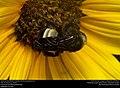 American bumblebee (Apidae, Bombus pensylvanicus) (29595879714).jpg