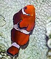 Amphiprion ocellaris 29zz.jpg