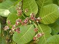 Anacardium occidentale L.(Cashew nut tree) - Flickr - lalithamba.jpg