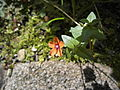 Anagallis arvensis with one red flower.jpg
