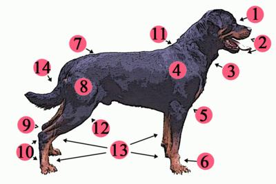 Budowa anatomiczna psa1. stop 2. kufa 3. podgardle 4. bark 5. przedramię 6. przednia stopa i nadgarstek 7. lędźwie 8. udo 9. pięta 10. tylne stopy 11. kłąb 12. kolano 13. łapy 14. ogon