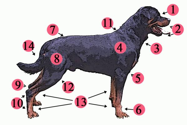 Dog Anatomy Wikiwand
