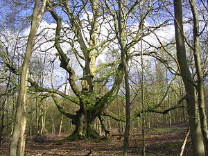 Savernake Forest - A pollarded beech