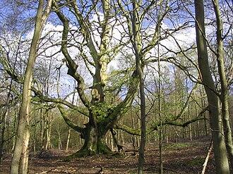 Savernake Forest - A pollarded beech