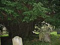 Ancient yew tree in St Andrew, Kenn churchyard - geograph.org.uk - 1731901.jpg