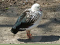 Andean Goose (Chloephaga melanoptera) RWD.jpg