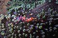 Anemone Shrimp Ancylomenes holthuisi (7970533634).jpg