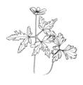 Anemone nemorosa ellywa.png