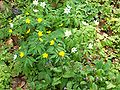 Anemone ranunculoides 002.jpg