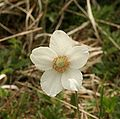 Anemone sylvestris flower 110503.jpg