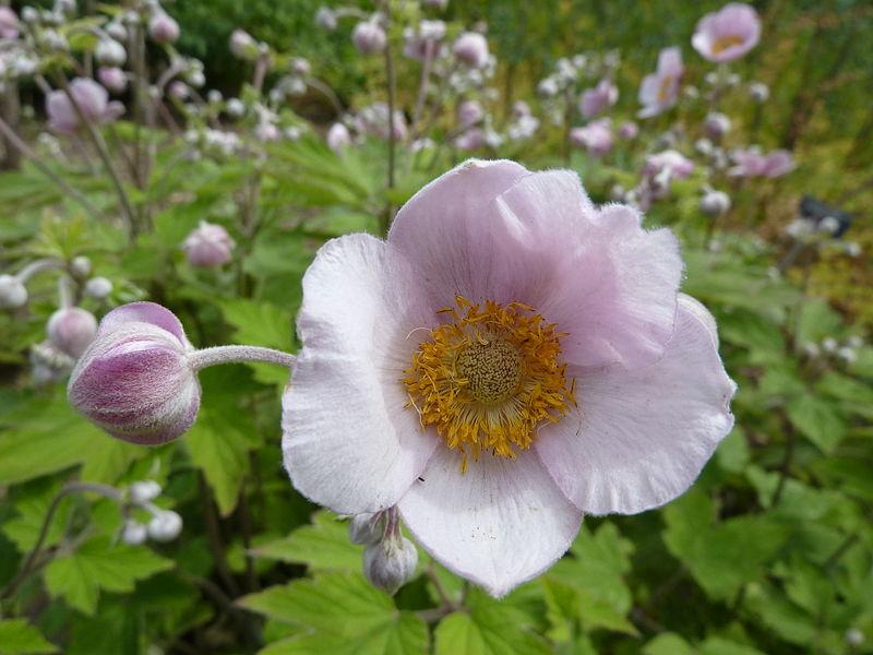 File:Anemone tomentosa (Ranunculaceae) flower.JPG