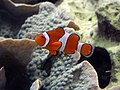 Anemonenfisch fg01.jpg