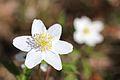 Anemones - kvitveis - hvitveis - 6.JPG