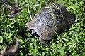 Anemurium turtle.jpg