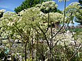 Angelica sylvestris 05 by Line1.jpg