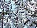 Angiosperms in iran گلها و گیاهان گلدار ایرانی 33.jpg