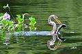Anhinga anhinga -Uarini, Amazonas, Brasil -juvenile-8.jpg