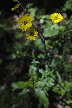 Anisocarpus madioides.jpg