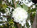 Annona squemosa.jpg