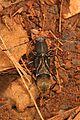 Ant-mimic Longhorned Beetle - Cyrtophorus verrucosus, G. R. Thompson Wildlife Management Area, Linden, Virginia.jpg