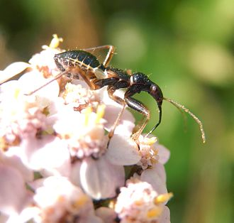 Hemiptera - An ant-mimicking predatory bug Myrmecoris gracilis