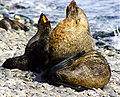 Antarctic fur seals.jpg